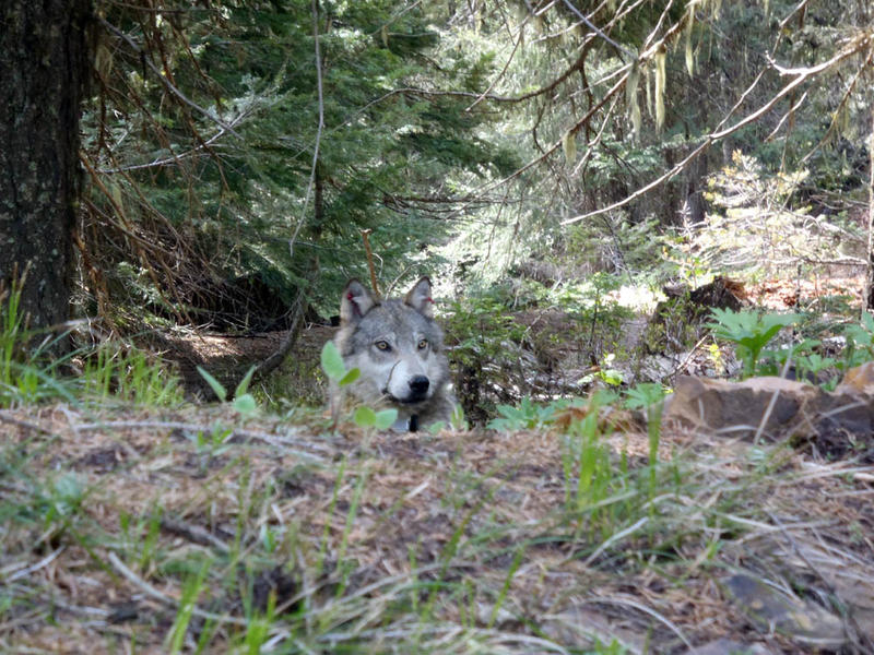 A member of the Teanaway wolf pack in western Washington state. The wolf was in recovery from tranquilizing drug when this photo was taken.