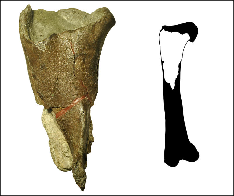 The first dinosaur fossil described from Washington state is a portion of a femur leg bone from a theropod dinosaur, a group of meat-eating, two-legged dinosaurs, including T. rex and Velociraptor.