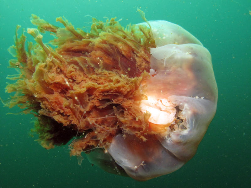 The lion's mane jelly taken by KUOW reporter and diver Ann Dornfeld in 2010.