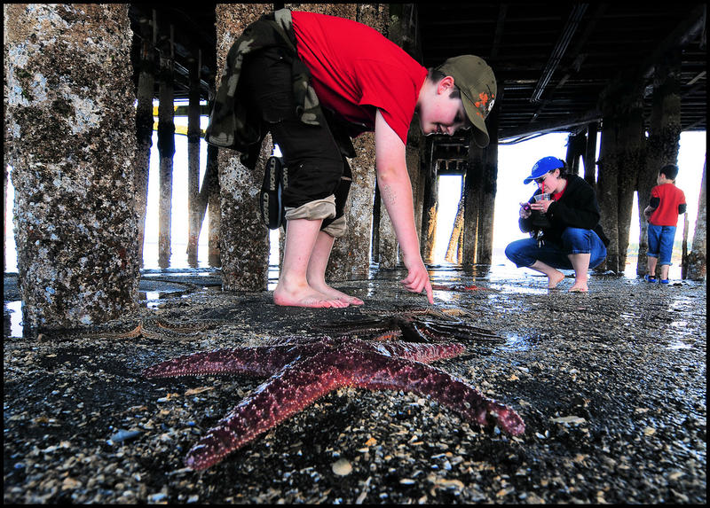 Starfish are exposed under the ferry dock at Edmonds on an extremely low tide on July 4, 2012.