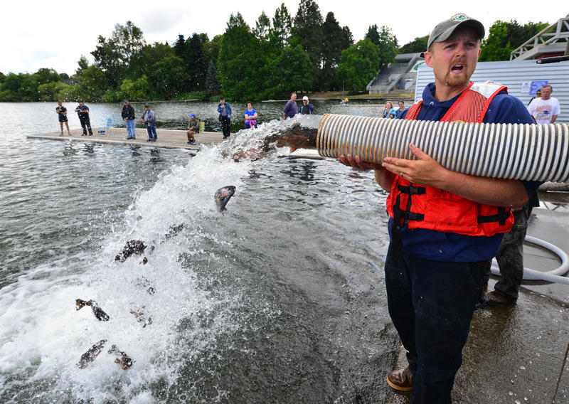 Watch green lake get stocked with big fat fish kuow news for Stocked trout fishing