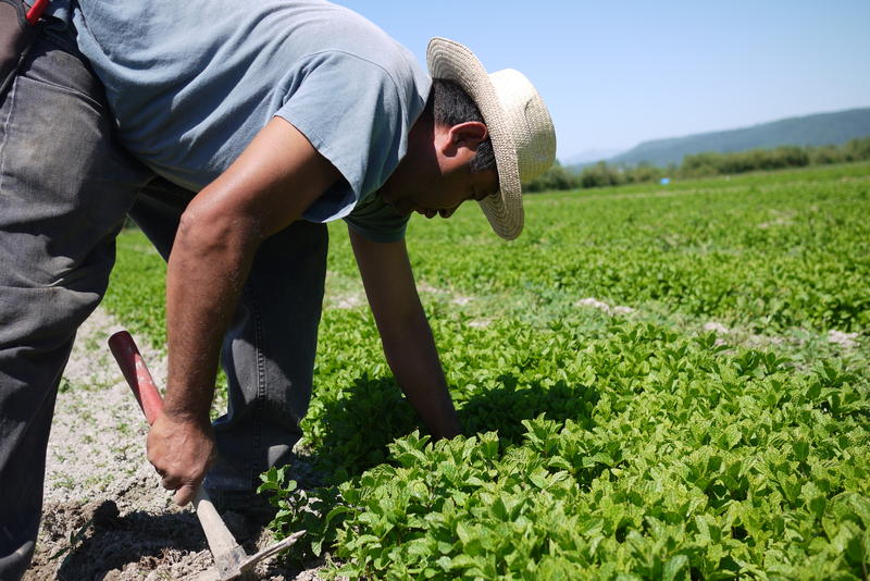 A farmworker in Western Washington.