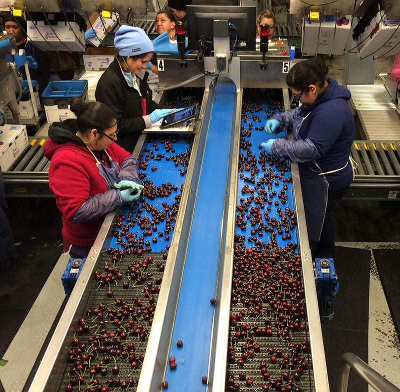 Stemilt Growers, a cherry packing facility in Wenatchee, Washington.