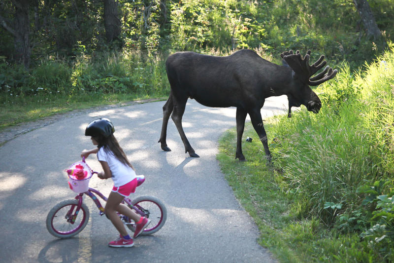 A moose browses along a bicycle path in the Anchorage, Alaska, area this week.