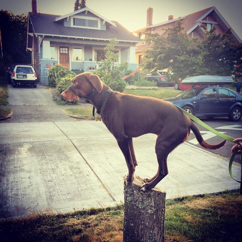 Charles is a German shorthaired pointer mix who lives in Beacon Hill.