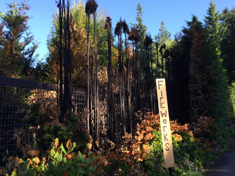 Burned cedars and salal at a property in Woodway, Washington, which has had a ban on fireworks for years.