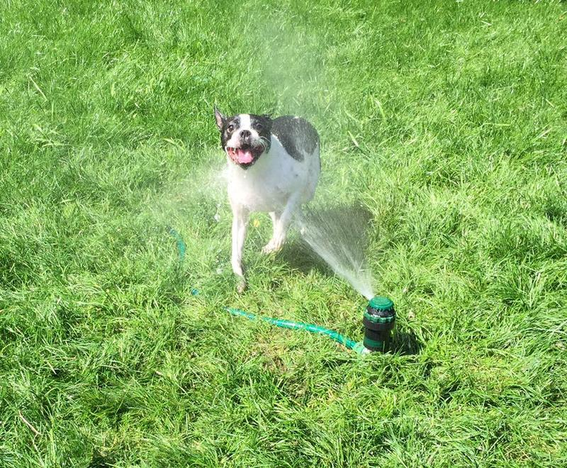 Gunnar the Boston terrier lives in Magnolia, and according to his mom, lives for sprinkler time.