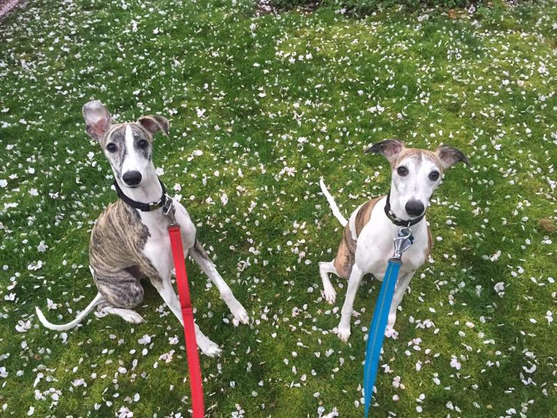 These are Zephyr, a 1-year-old male, and Zamboni, a 5-year-old female. They are Whippets.