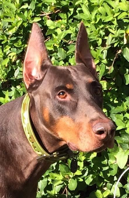Zeus is a doberman from the Maple Leaf-Ravenna neighborhood. There are 50 other licensed Seattle dogs named Zeus.