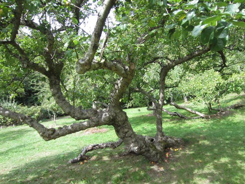 A century-old apple tree twists and turns toward the sky in Carkeek Park.