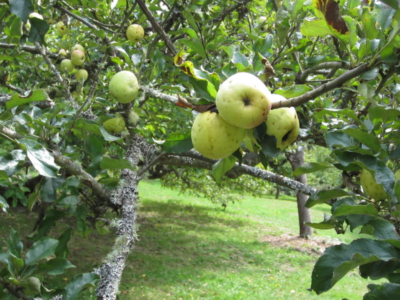 Apples on one of the original trees in Piper's Orchard. The orchard was planted more than 100 years ago.