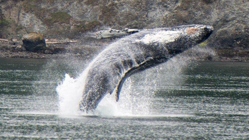 This humpback whale breached off Strawberry Island.