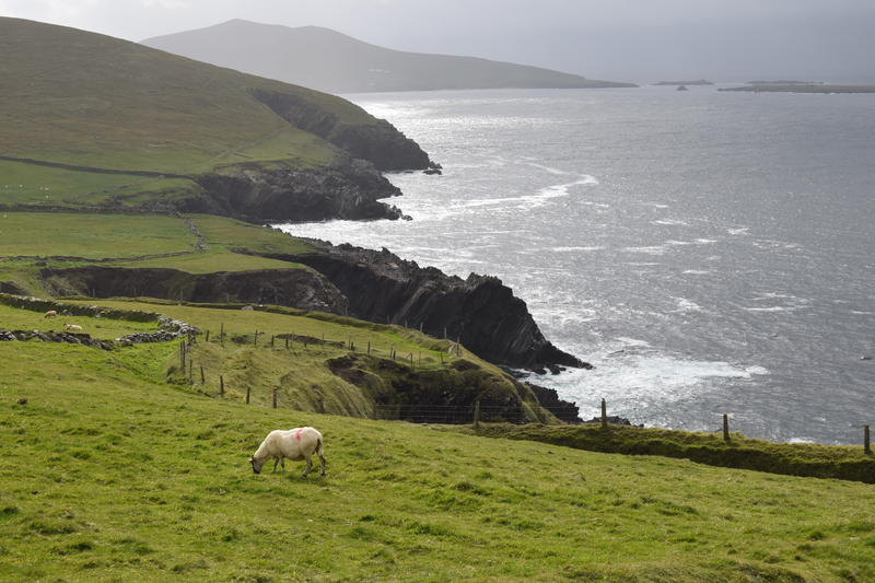 Just one of many, many sheep to be found hiking around the Dingle Peninsula, Co. Kerry, Ireland.