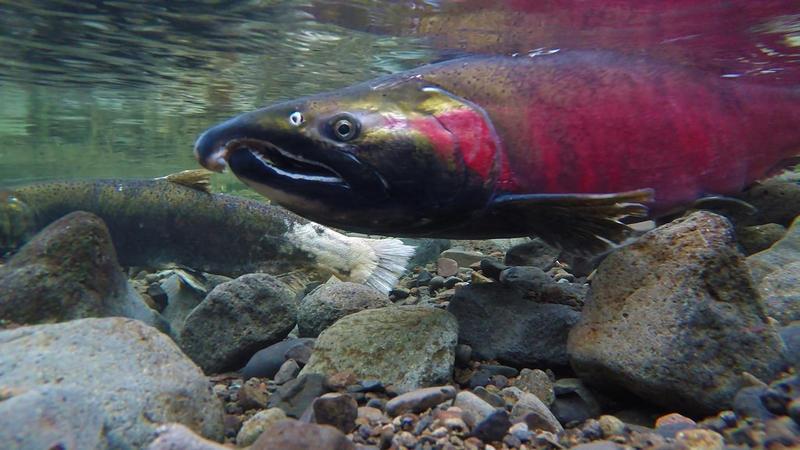 Spawning Coho salmon.