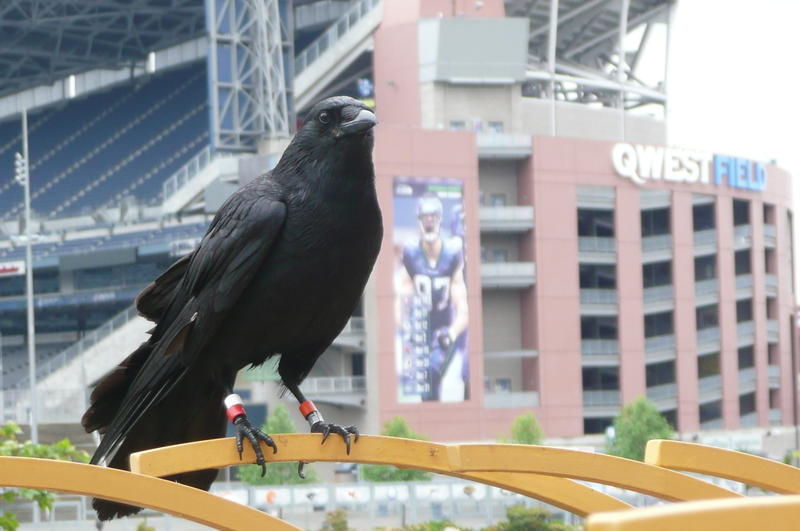 Crow doesn't care that the official bird of Seattle is the Great Blue Heron.