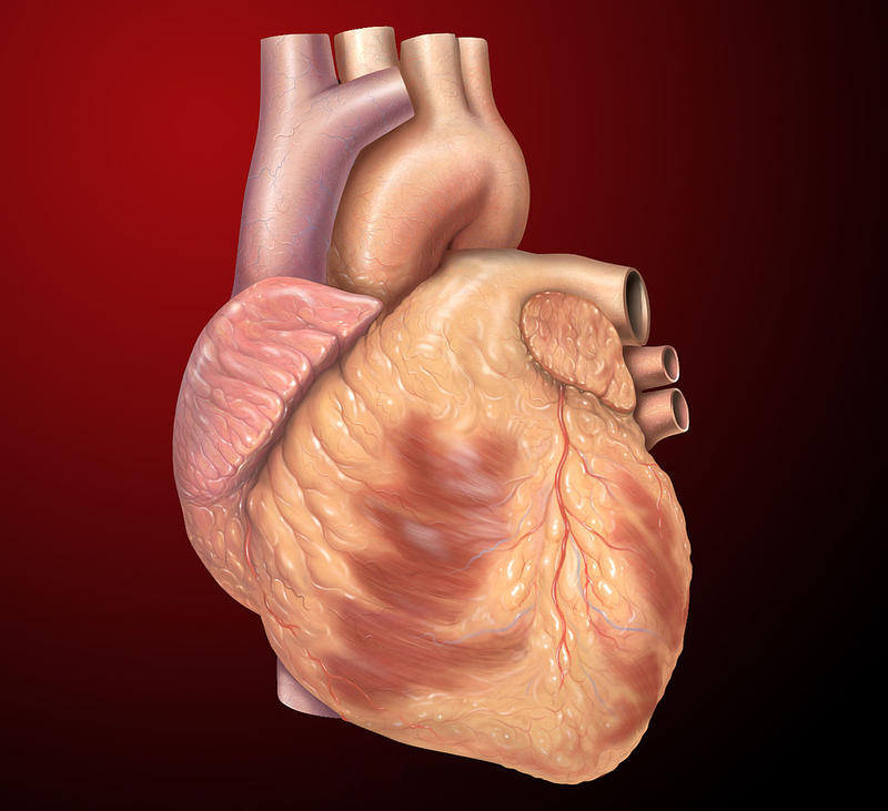 Medical illustration of a heart.