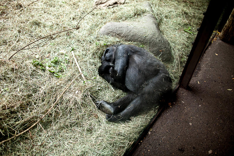 Nadiri, a 19-year-old gorilla at the Woodland Park Zoo in Seattle, is pregnant. Her due date is Thursday, Nov. 19.