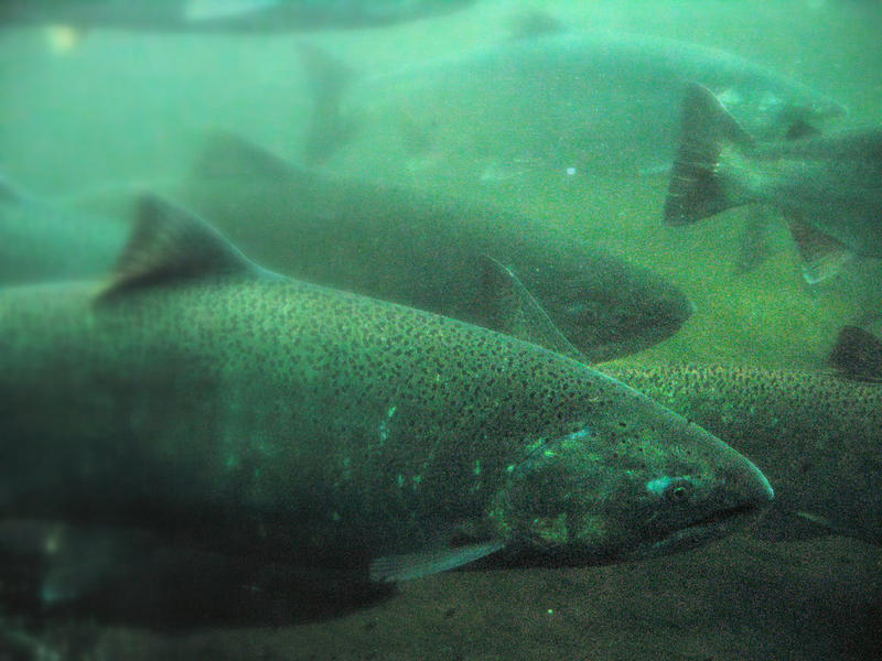 Salmon in the Ballard Locks, Seattle, Washington.