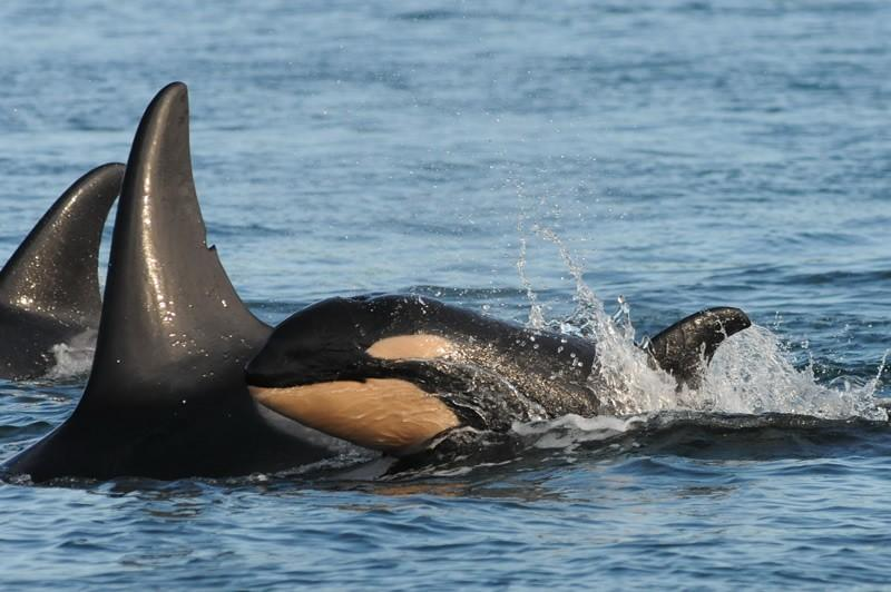 Baby orca J54 swims with its mom, J28, in the waters off San Juan Island this month.