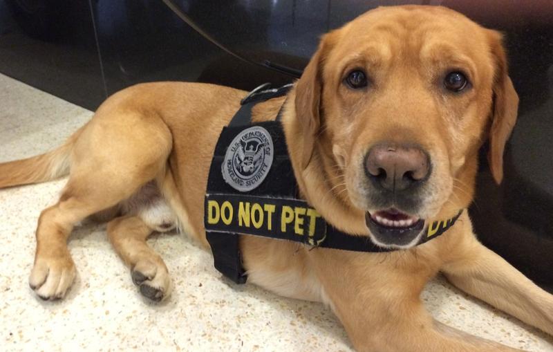 A TSA bomb-sniffing dog.