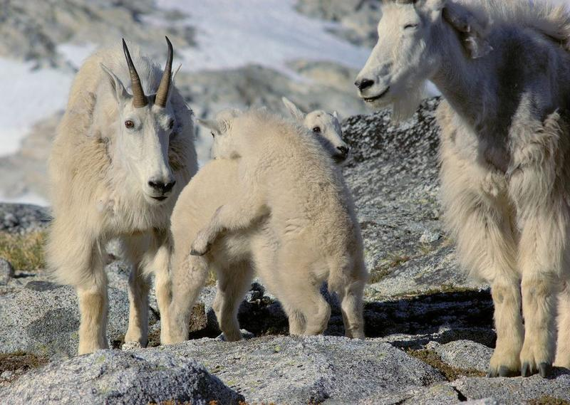 The goats and their kids are a popular site in Washington state's enchantments.