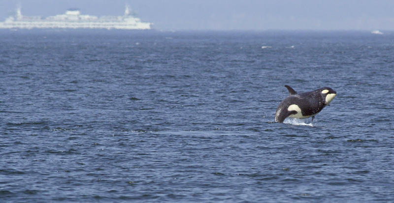 Springer, the one-ton baby orca displaced from her pod, chased Washington ferries until she was caught and reconnected with her family.