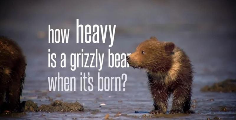 A still from Chris Morgan's short movie about grizzly bears.