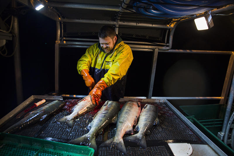 Joe Burnison works as a deckhand aboard Loki, a salmon gillnetting boat in Puget Sound. Loki is owned by one of his oldest friends, Jonah Knutson. Both men grew up in West Seattle. Joe Burnison works as a deckhand aboard Loki, a salmon gillnetting boat in