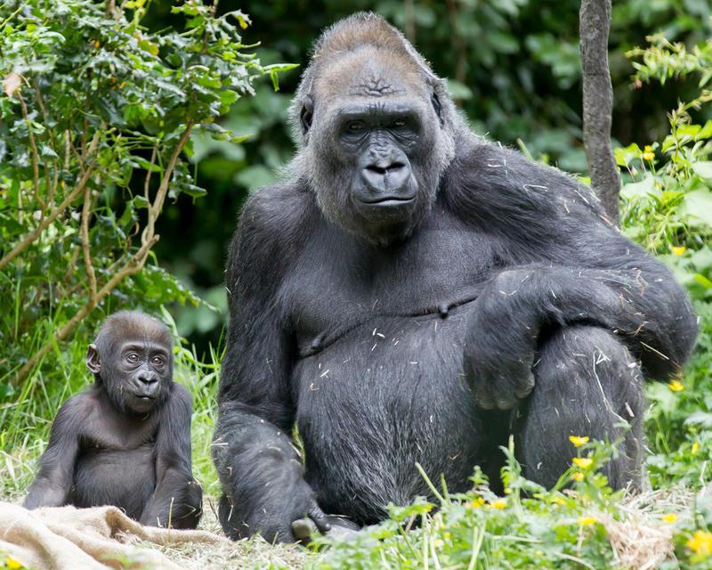 Baby gorilla Yola and mother Nadiri at the Woodland Park Zoo.