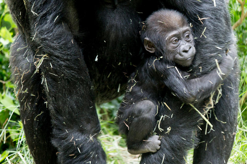 Baby gorilla Yola and mother Nadiri at the Woodland Park Zoo.