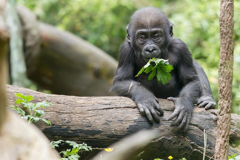 Woodland Park Zoo's new baby gorilla, Yola.