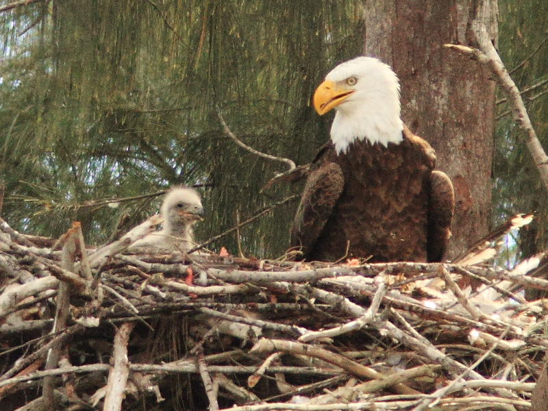 Washington's increased bald eagle population may dismiss them from the endangered species list.