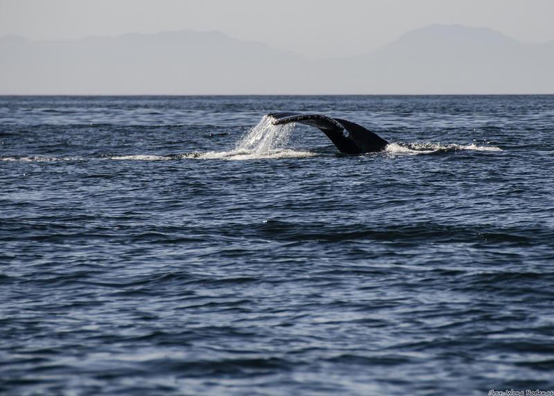 Humpback whale off of Victoria, British Columbia.