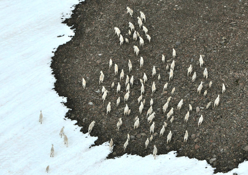 A large group of mountain goats moves along slope near Mount Baker. The photo was taken from the air in late July by state wildlife researchers.