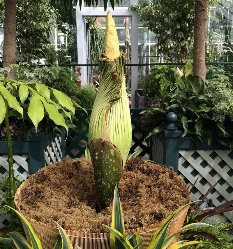 Dougsley, the corpse flower at Volunteer Park Conservatory