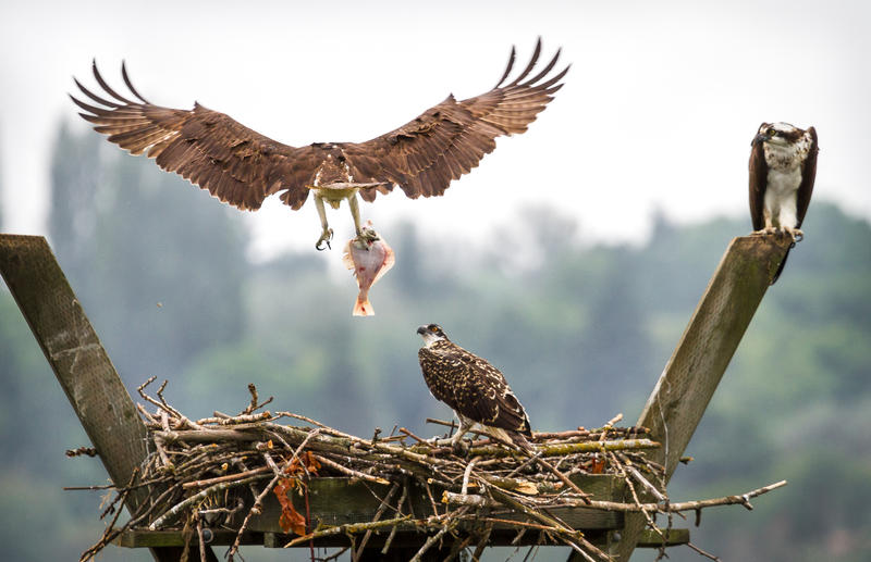 A bird of prey drops off a fish snatched from the Duwamish