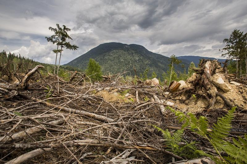 Logging has changed mountain Caribou habitat