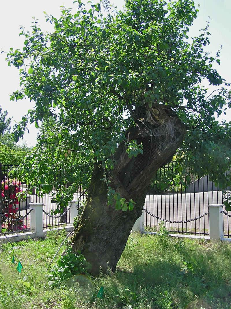 'The Old Apple Tree' is thought to be oldest apple tree in the Northwest.