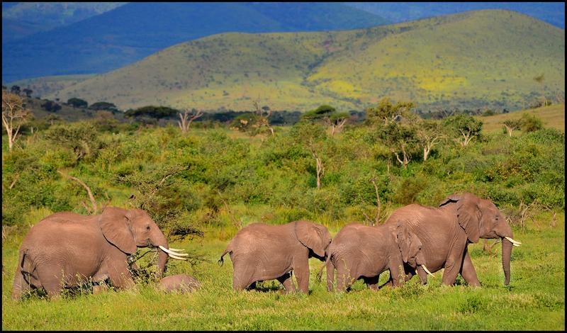 Elephants in Tanzania's Ndarakwai reserve