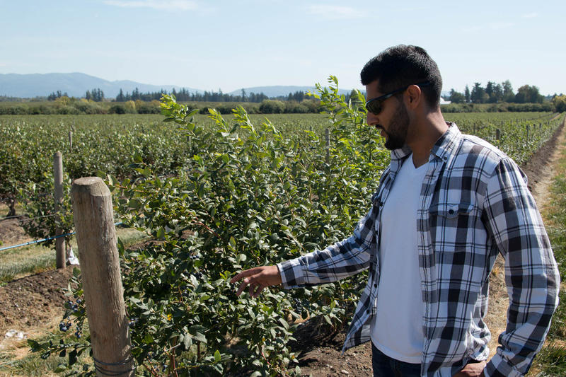 Farmer Paul Sangha checks out blueberry plants on his farm. He is one of about 100 Sikh berry farmers in Whatcom County.