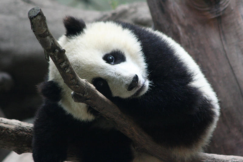 File photo of a panda.