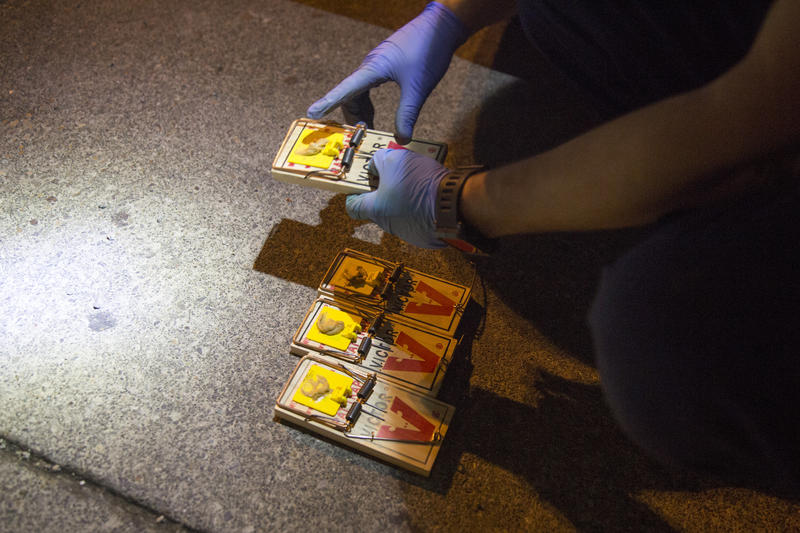 Adam Truitt, owner of Pest Fighter, sets traps for rats in an alley behind the University Book Store in Seattle. There are two kinds of rats in Seattle, the Norway rat and the roof rat.