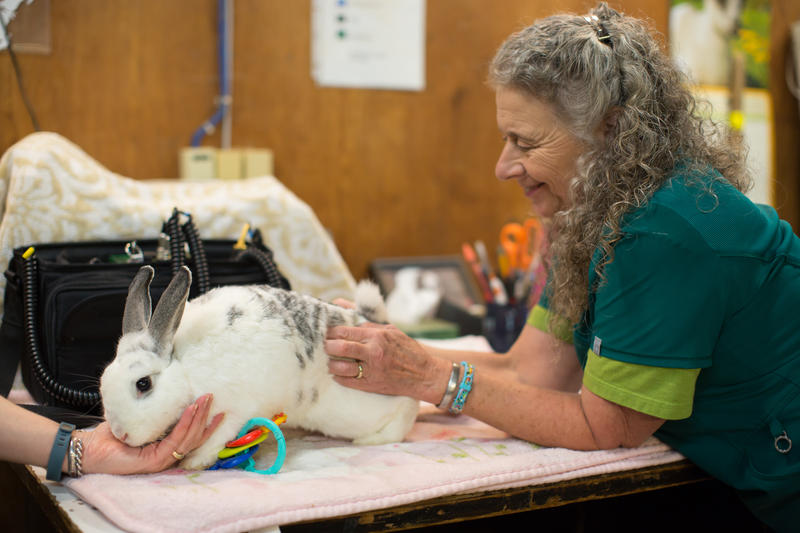 Emma the bunny receives massage from Heather Frazier, a vet tech at Woodland Park Zoo. Emma is part of the petting zoo.