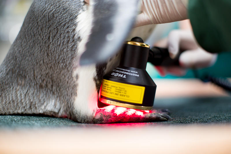 Mr. Sea the 27-year-old penguin receives laser treatment at Seattle's Woodland Park Zoo.