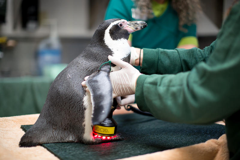 Mr. Sea the penguin receives laser treatment at Seattle's Woodland Park Zoo. Mr. Sea