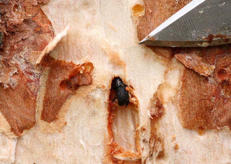 Mountain pine beetles will be challenged by the current cold weather.
