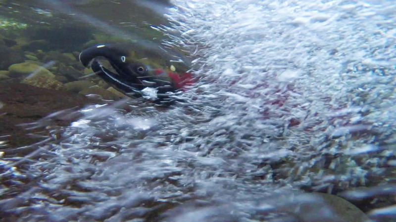 Spawning coho salmon