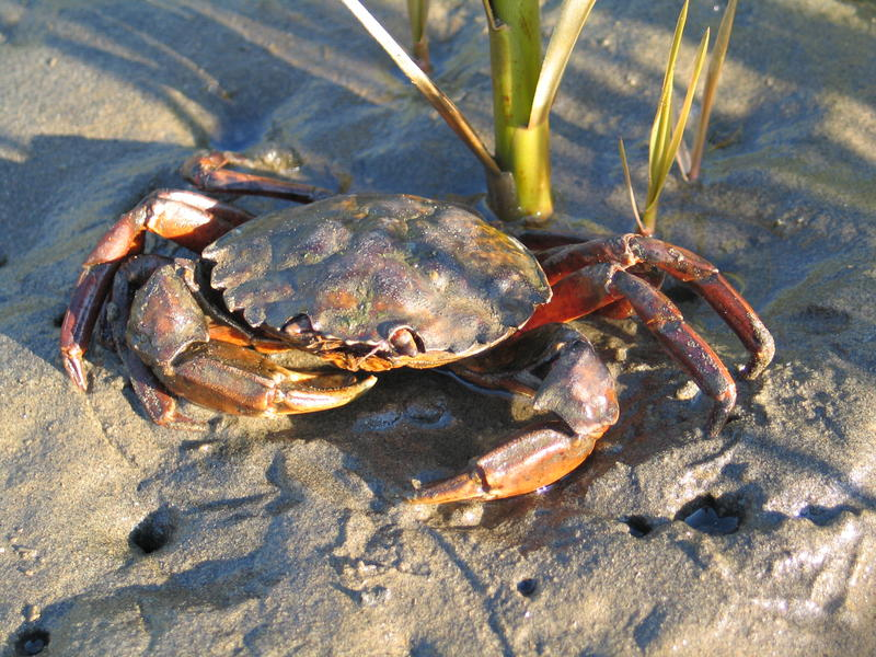 European green crab, like this one found in Washington, aren't always green