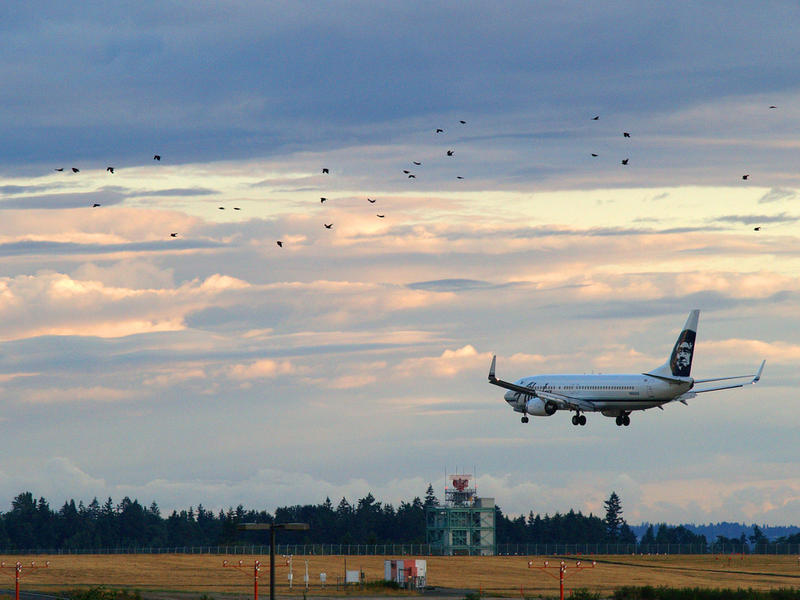 An Alaska Air 737 arrives at SeaTac as a flock of birds crosses.