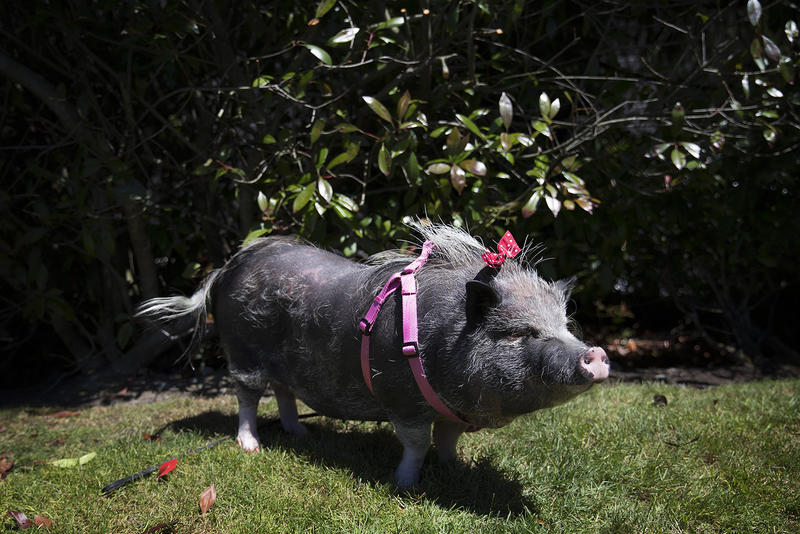 Bella, a pot belly pig from Seattle, gets a weekly manicure. She used to get bubble baths, but she's become too heavy for her own to lift into the tub, so she settles for showers.